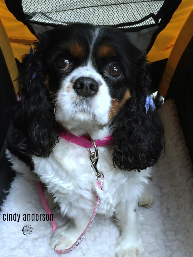 Sadie in Her Burly.jpg